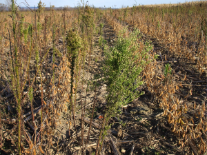 Fig. 3: Horseweed population that survived burndown and postemergence glyphosate applications.  Photo by R.J. Richtmyer III.