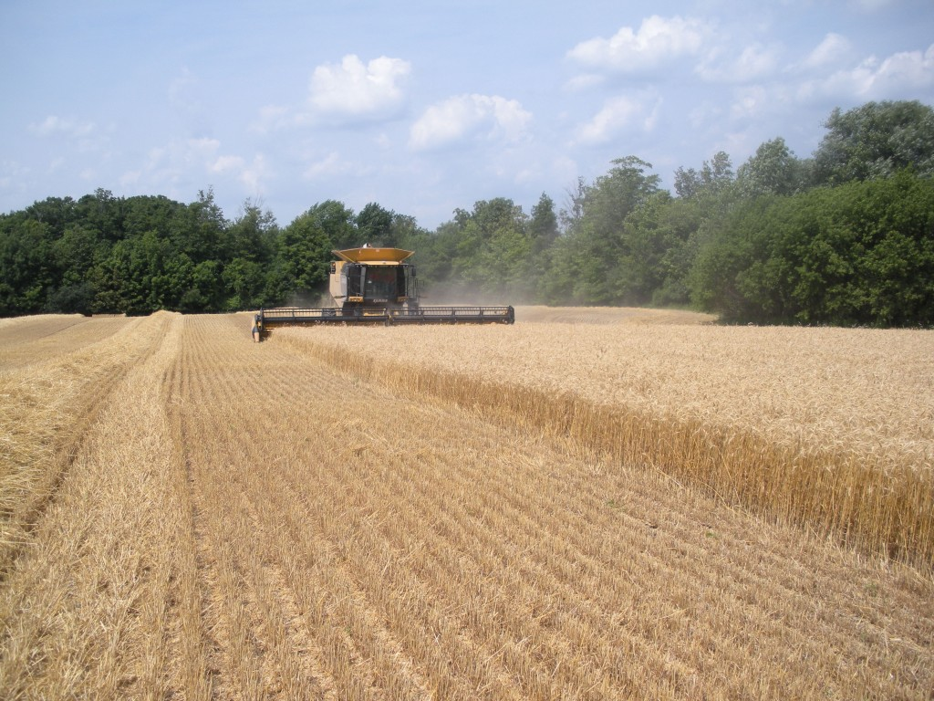 Wheat harvest and stressed corn 064