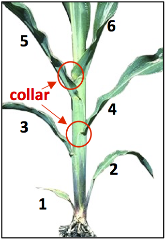 Figure 2. Corn at V6 growth stage with 6 visible collared leaves.