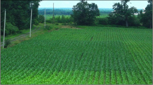 Figure 3. An N-rich strip in a corn field in Northern New York at the V7 growth stage (7 leaves with visible collar).