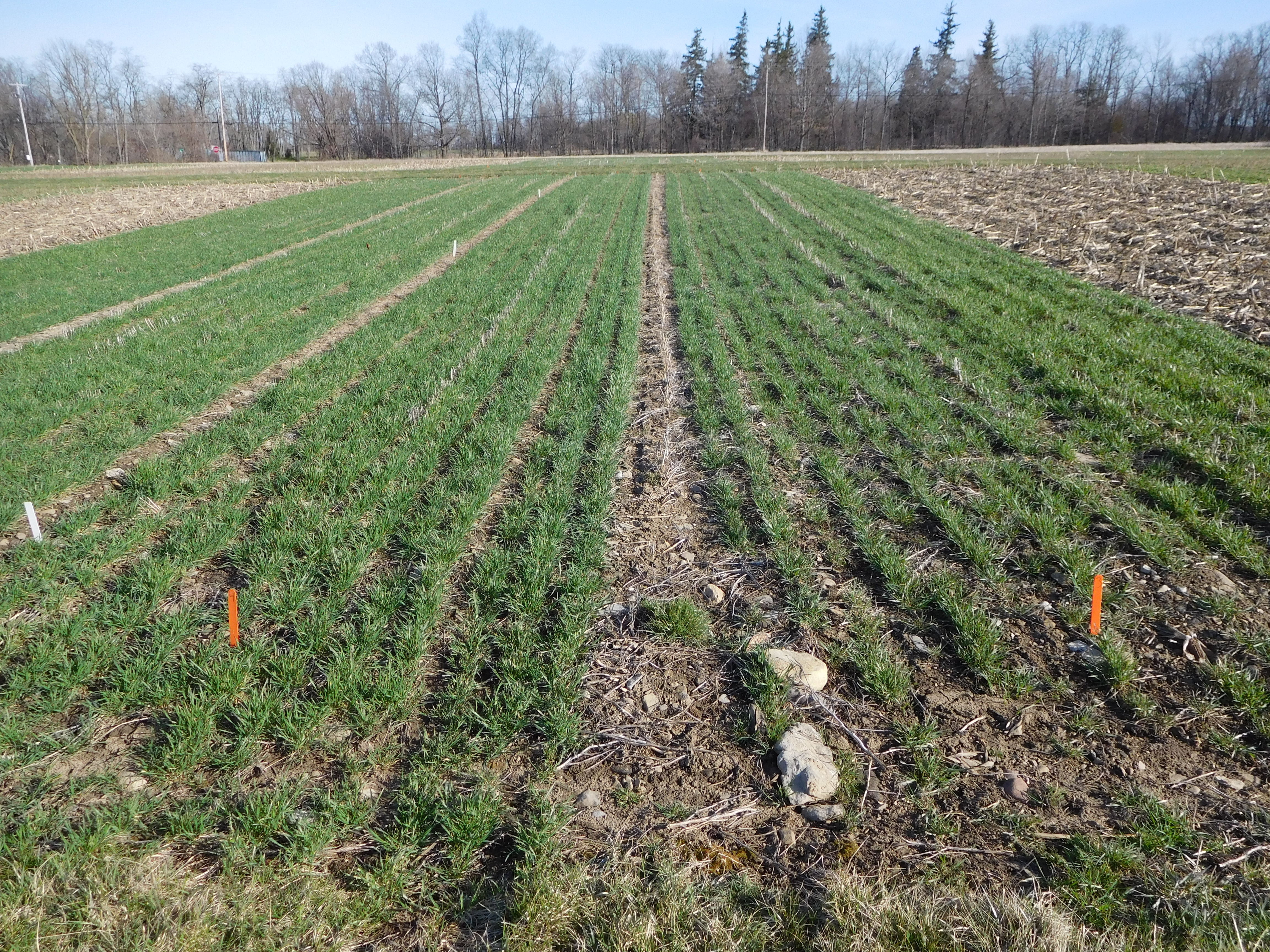 No-Till Organic Wheat Continues to Have Low Weed Densities in Early ...