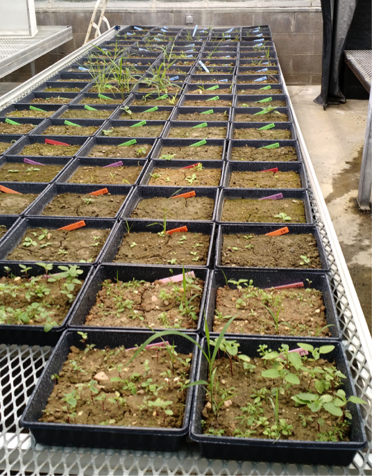 Figure 1. Flats of germinating weed seedlings in the greenhouse for the weed germination bioassay.