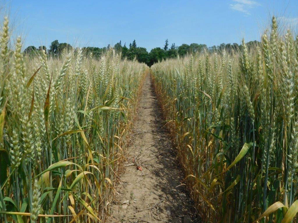 The lower leaves of wheat were senescing in mid-June, despite more N being applied to high input conventional wheat (right), because of exceedingly dry conditions at Aurora and the droughty soil of the experimental area.