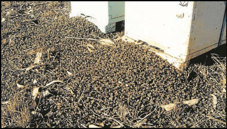 Hundreds of dead bees near a bee colony, believed to have been exposed to neonics