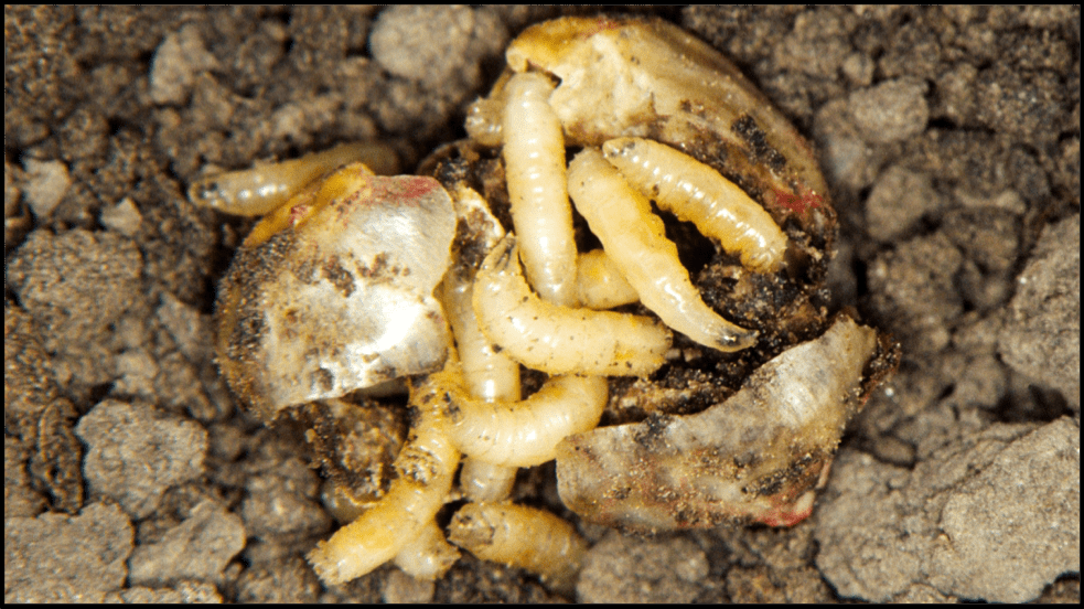 Seedcorn maggots feeding on a corn seed.