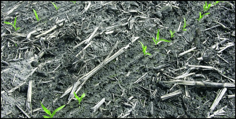 Skips in a corn row caused by seedcorn maggots eating the corn seed.