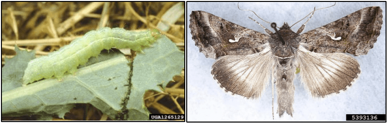 Silver Y moth and larva