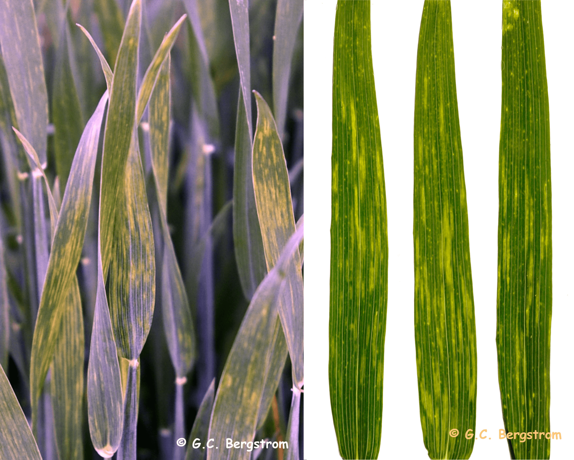 wheat leaves