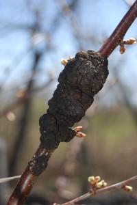 14-04-24 Black knot on prune-plums DSC_0015