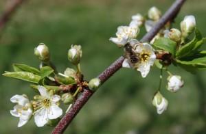 14-04-24 Early Golden plum buds-pollinator DSC_0008
