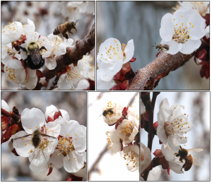 Apricot pollinators