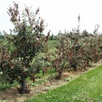 Apple tree damage created by blossom blight infections
