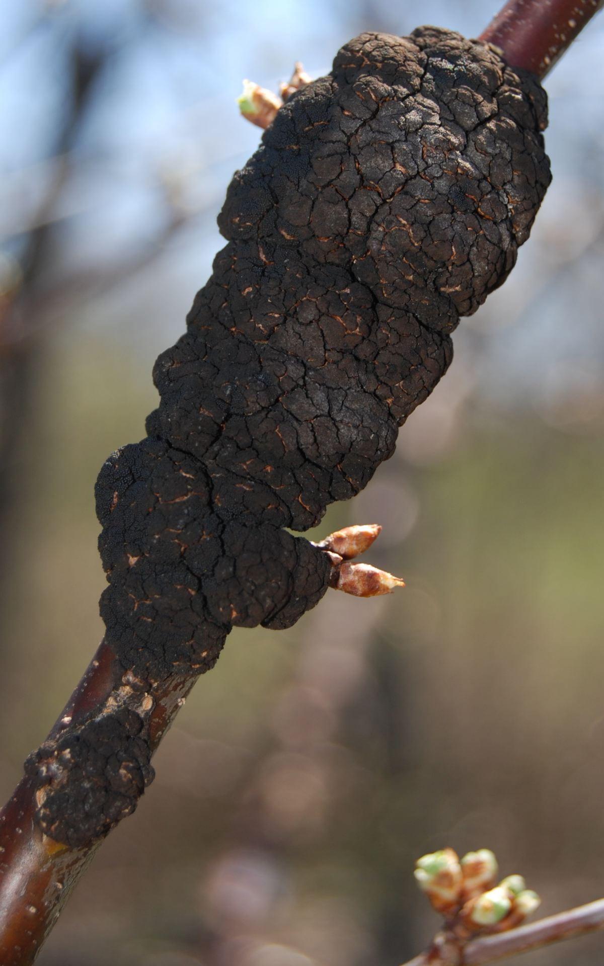 Black knot at bud break