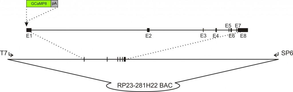 HCN4-GCaMP8 transgenic construct