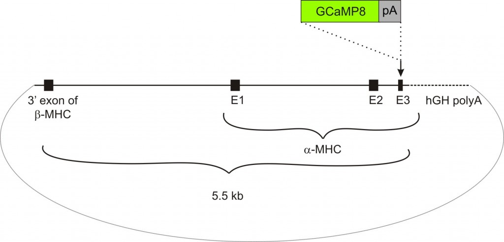 αMHC-GCaMP8 transgenic construct