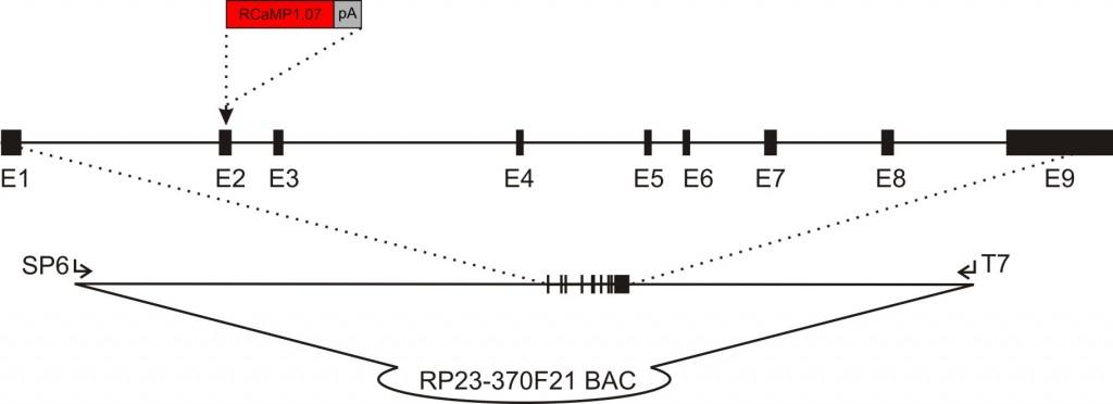 acta2-RCaMP1.07 transgenic construct