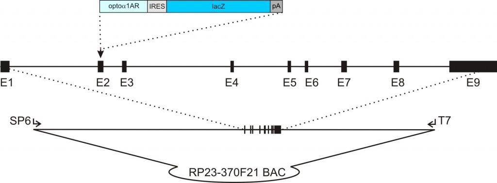 acta2-opto1AR-IRES-lacZ transgenic construct