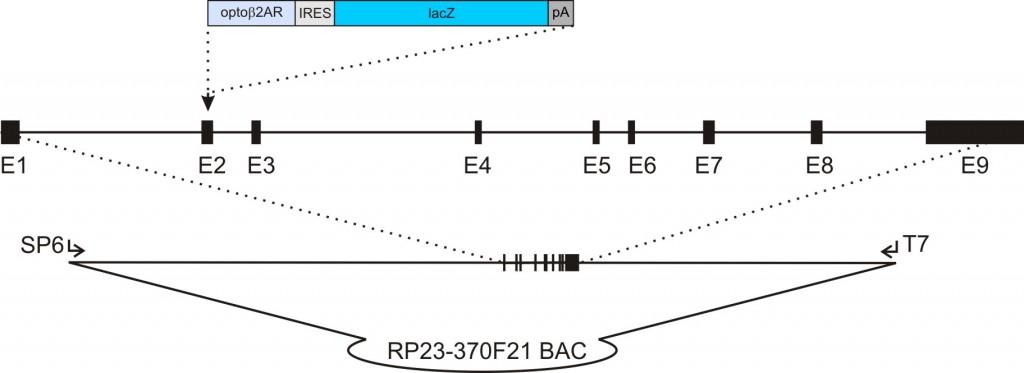 acta2- Opto-β2AR-IRES-lacZ transgenic construct