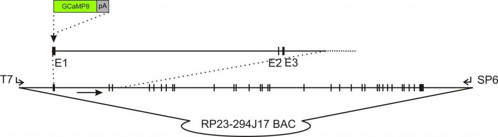 flt1-GCaMP8 transgenic construct