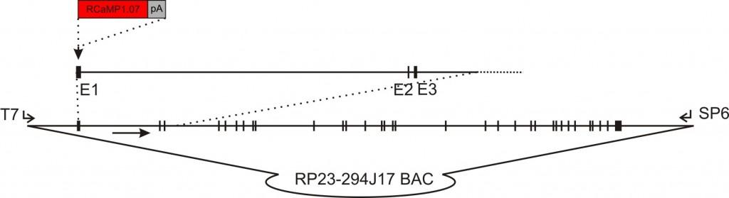 flt1 RCaMP1.07 transgene construct
