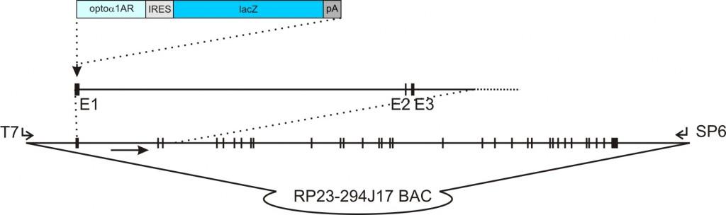 flt1 – Opto-α1AR-IRES-lacZ transgenic construct