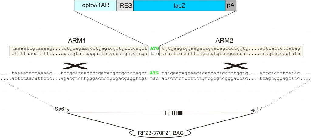 homologous recombination between the target vector and the BAC