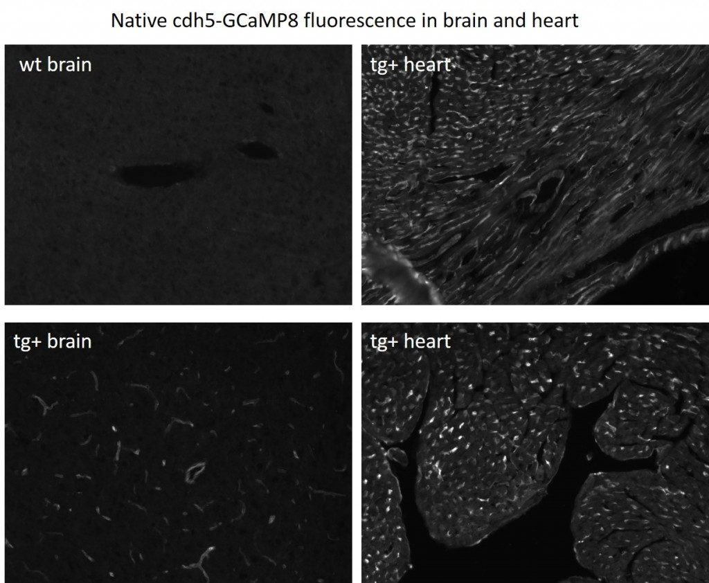 Native fluorescence of GCaMP8 expressed in endothelial cells under control of cdh5 promoter.