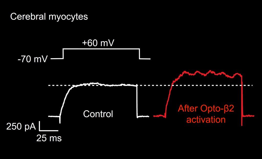 b7-photoactivation-in-arterial-myocytes