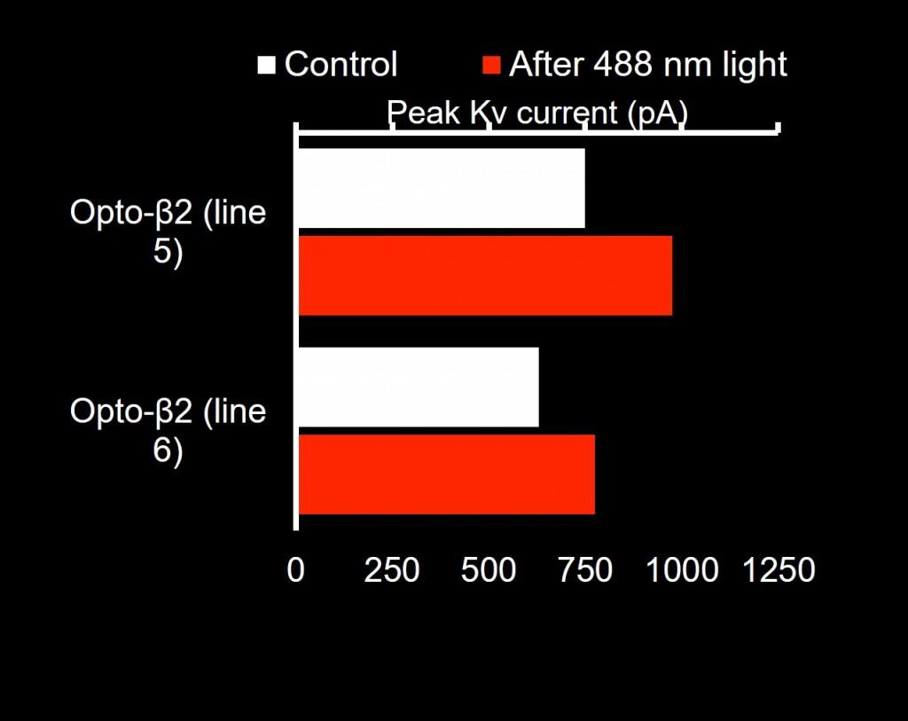 b7-photoactivation-in-arterial-myocytes-2