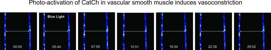 Vasoconstriction of vascular smooth muscle following photo-activation of CatCh.