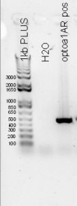 PCR results for optoa1AR B101 x B102