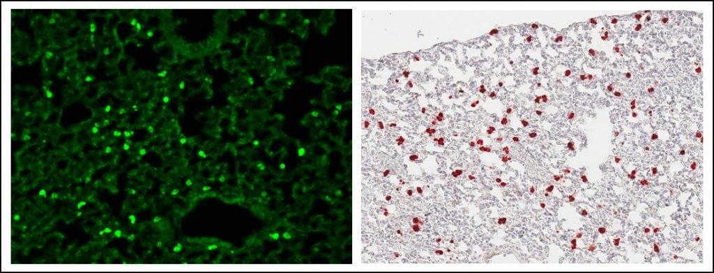 SPC-GCaMP8 native fluorescence (A) and anti-GFP immunohistochemistry (B) showing GCaMP8 expression in alveolar type II cells in the lung