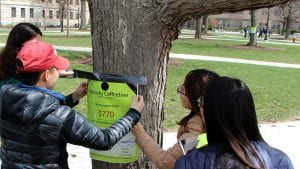 Tagging a Kentucky coffeetree