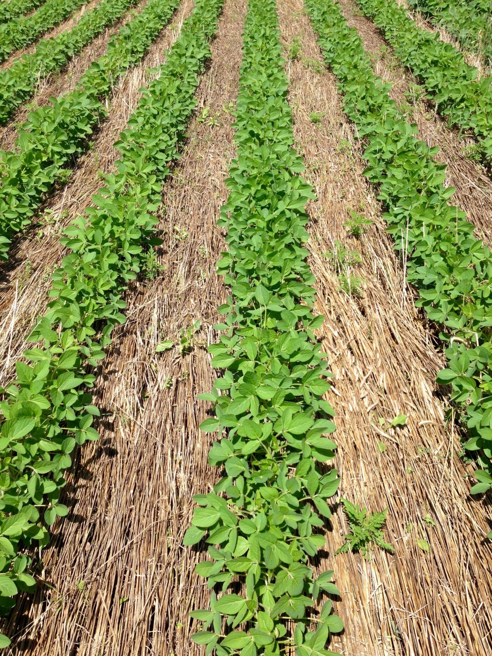 where there u0027s no till there u0027s a way organic cover crop based
