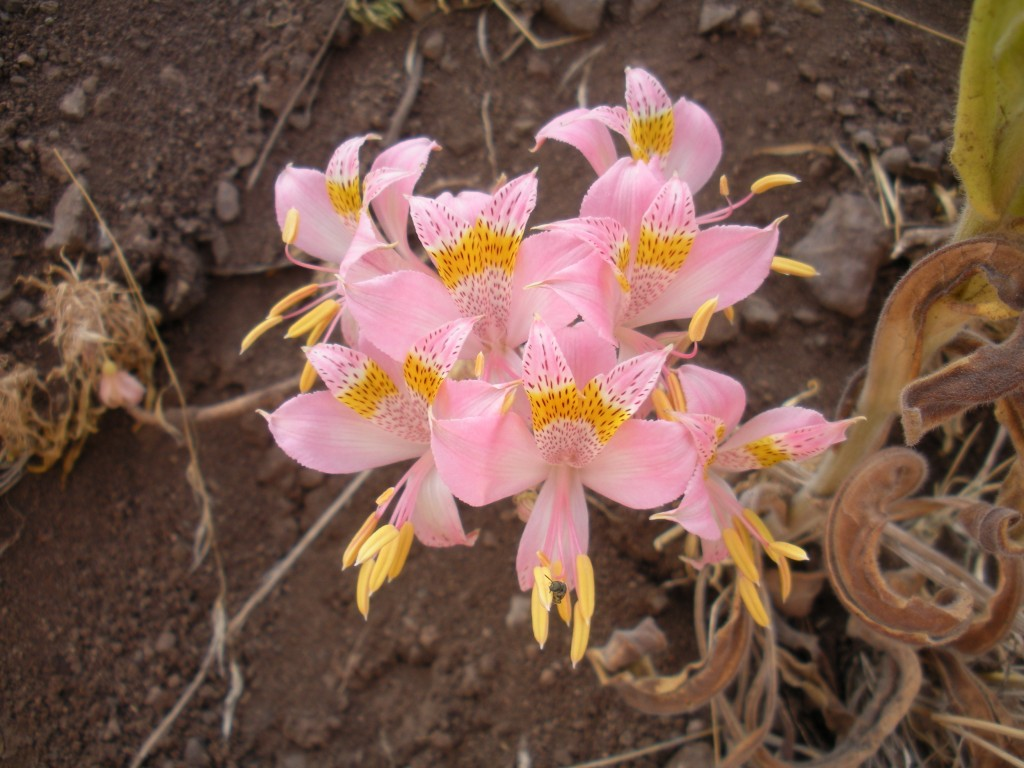 Alstroemeria up in Valle Nevado