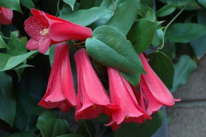 L. rosea in flower