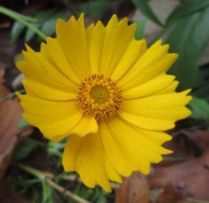 coreopsis flower (Coreopsis lanceolata)