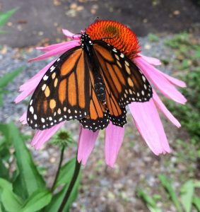 butterfly on purple coneflower (Echinacea purpurea)