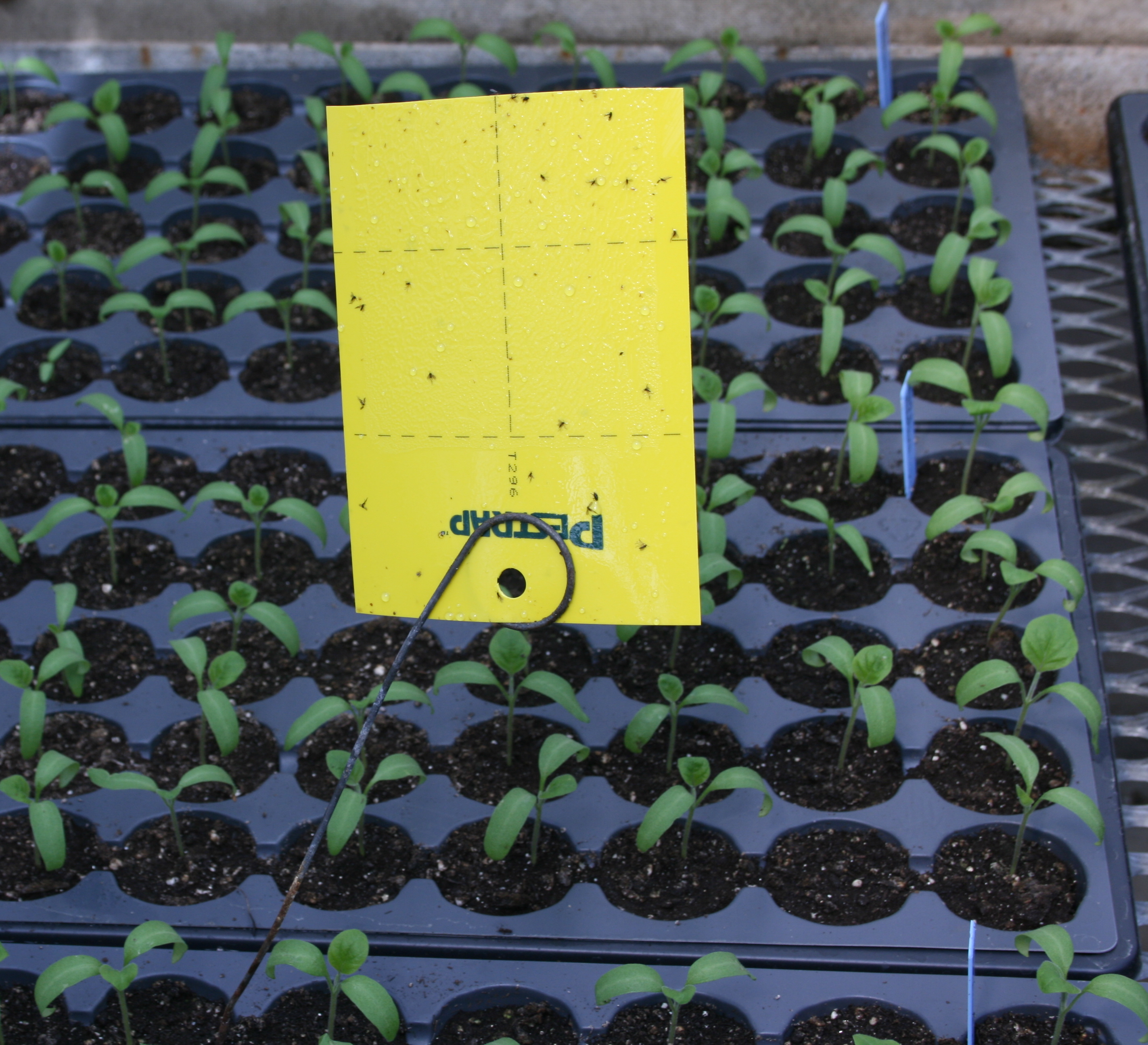 yellow sticky card for monitoring insect pests in a greenhouse