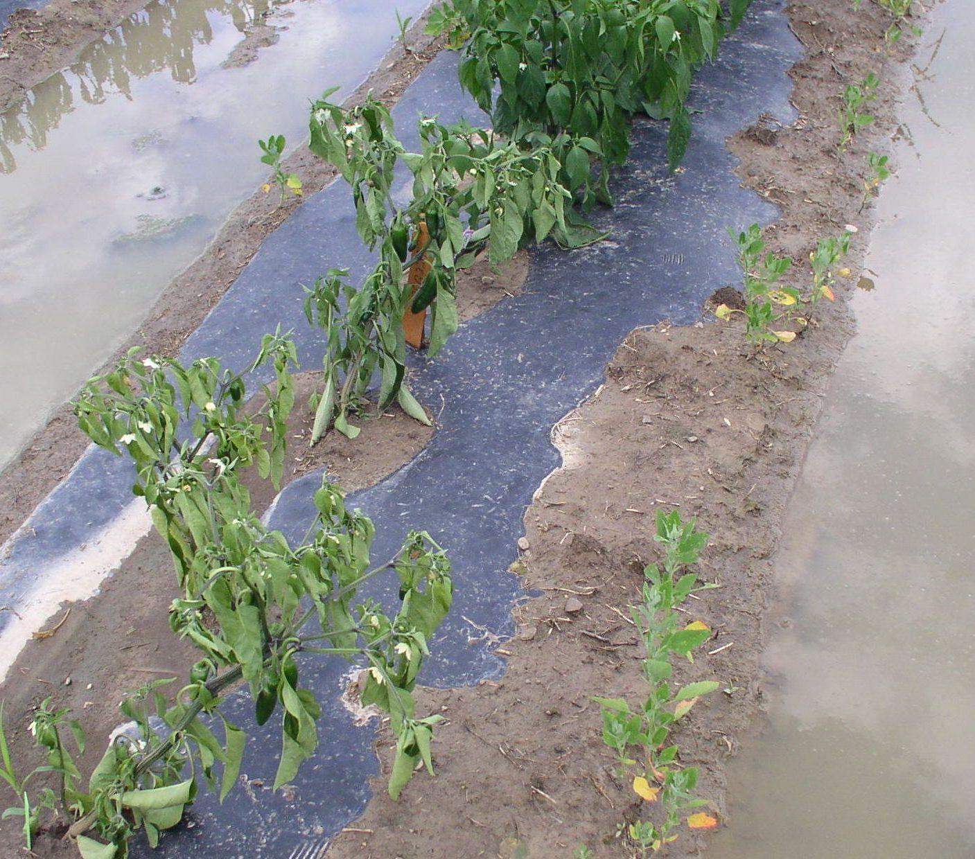peppers in flooded field