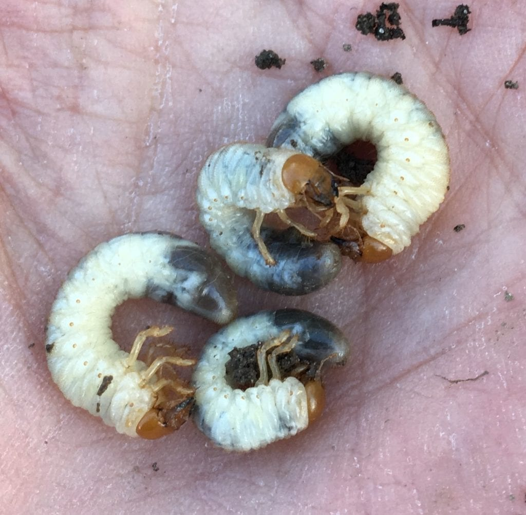 white grubs found in a lawn