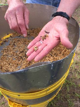 wax worms infected with EPNs used to inoculate a field