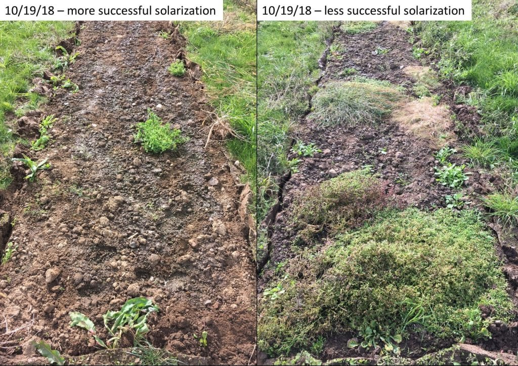 Plots of ground that had been covered with clear plastic. On the left, very few weeds grew underneath. On the right, more weeds (purselane and some grasses) grew.