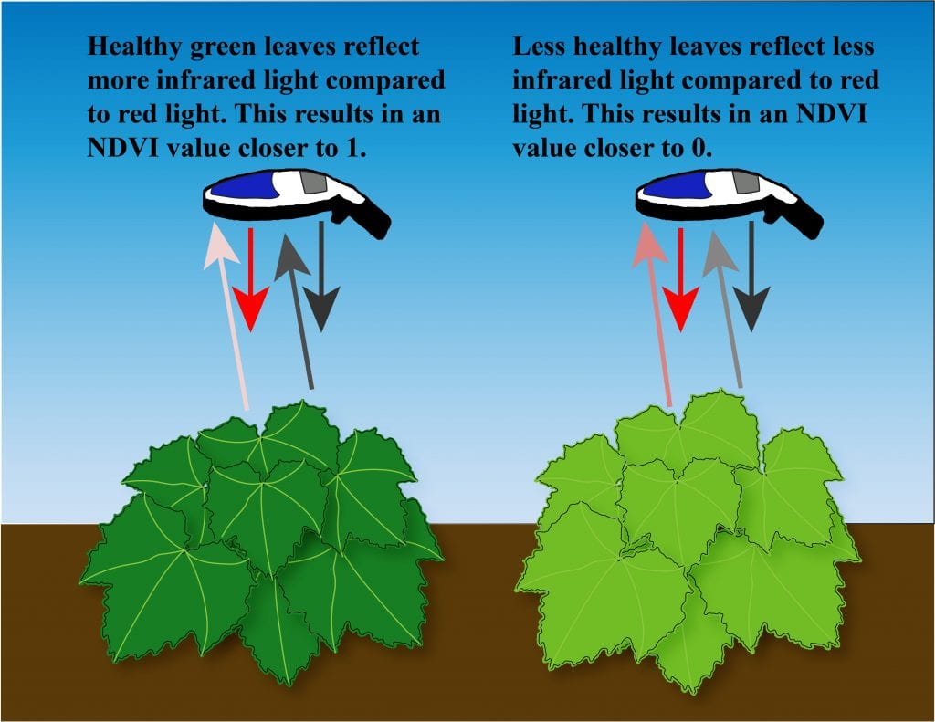 GreenSeeker device over a dark green (healthy) cucurbit plant and a light green (less healthy) cucurbit plant. Arrows show that red and infrared light are reflected differently from these two plants. NDVI values closer to 1 indicate a lot of healthy green leaves. NDVI values closer to 0 indicate less healthy (or fewer) leaves.