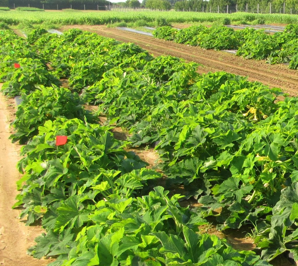 rows of healthy winter squash plants with flags
