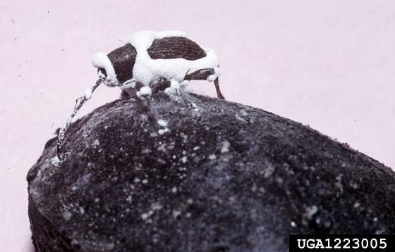 An insect covered in the white powdery fungus that has started growing out of its body following infection.