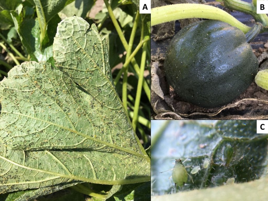 The underside of a squash leaf covered with aphids; an acorn squash fruit covered with shiny honeydew from aphids; a close-up picture of an adult aphid and some young aphids.