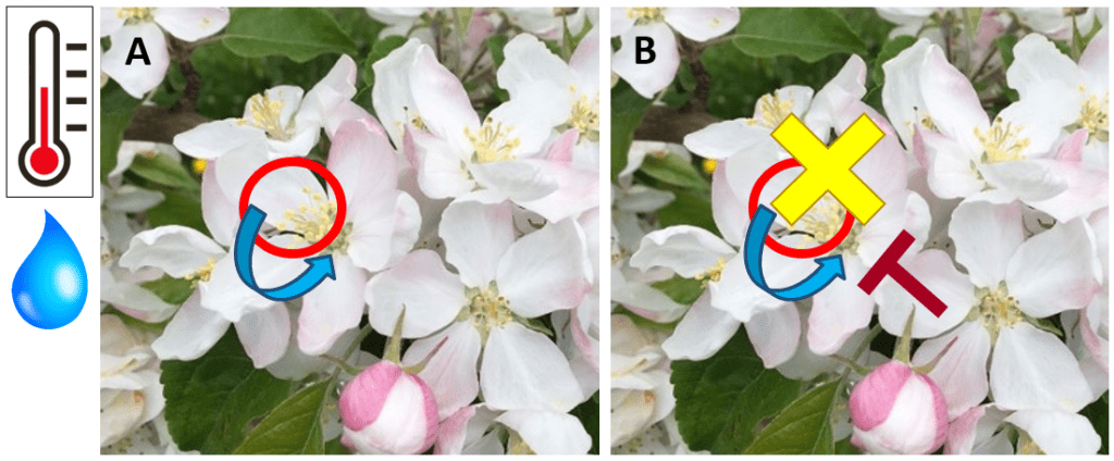 Two identical pictures of a cluster of open apple blossoms. Left photo with a red circle around the yellow floral parts (stigmas) and a blue curved arrow from this circle to the base of the flower (nectary), representing the colonization of the stigma by E. amylovora and a wetting event washing the bacteria into the plant. Right photo with the red circle and blue arrow, plus a yellow 'X' over the red circle, indicating protectant activity at the stigmatic surface, and a brown 'T' with the top facing the stigma, indicating the induction of plant defenses.