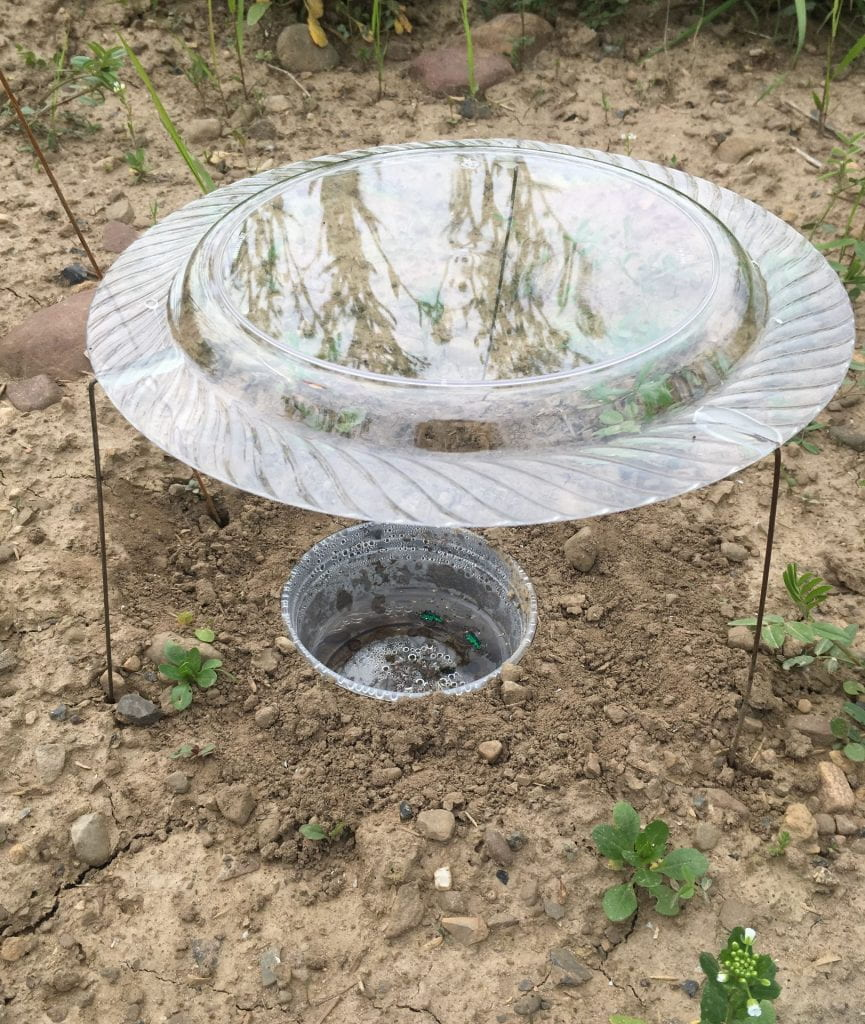 A 16-ounce plastic deli cup sunk in bare soil of a plot so that the rim is level with the ground. The cup is half-full of liquid and also has caught a few green beetles. The trap is covered by a clear plastic dinner plate held about 6 inches above the ground by wire legs.
