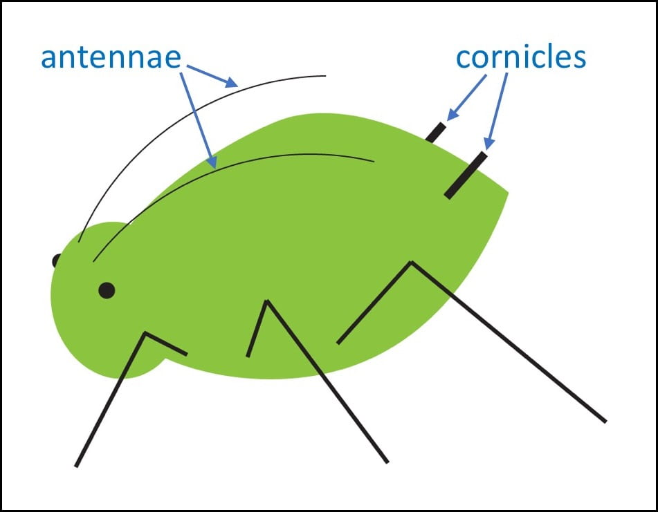 Diagram identifying the antennae on the aphid's head and the cornicles attached at the rear of the abdomen.